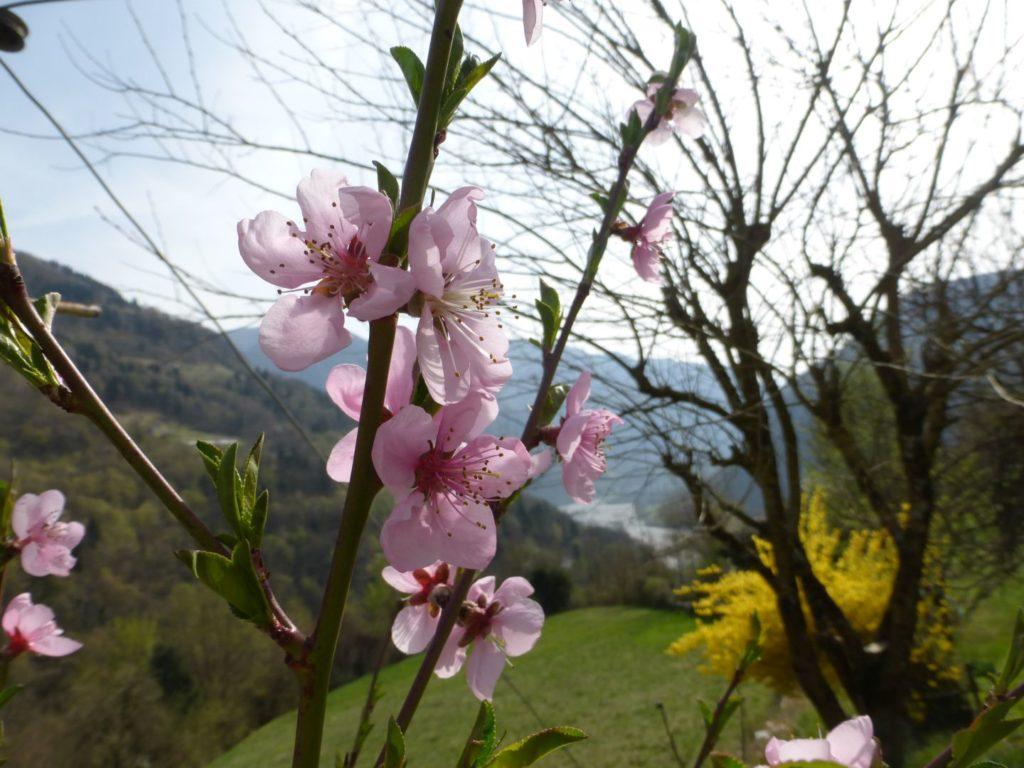 Fiori rosa, fiori di pesco... - Gaia Erbe