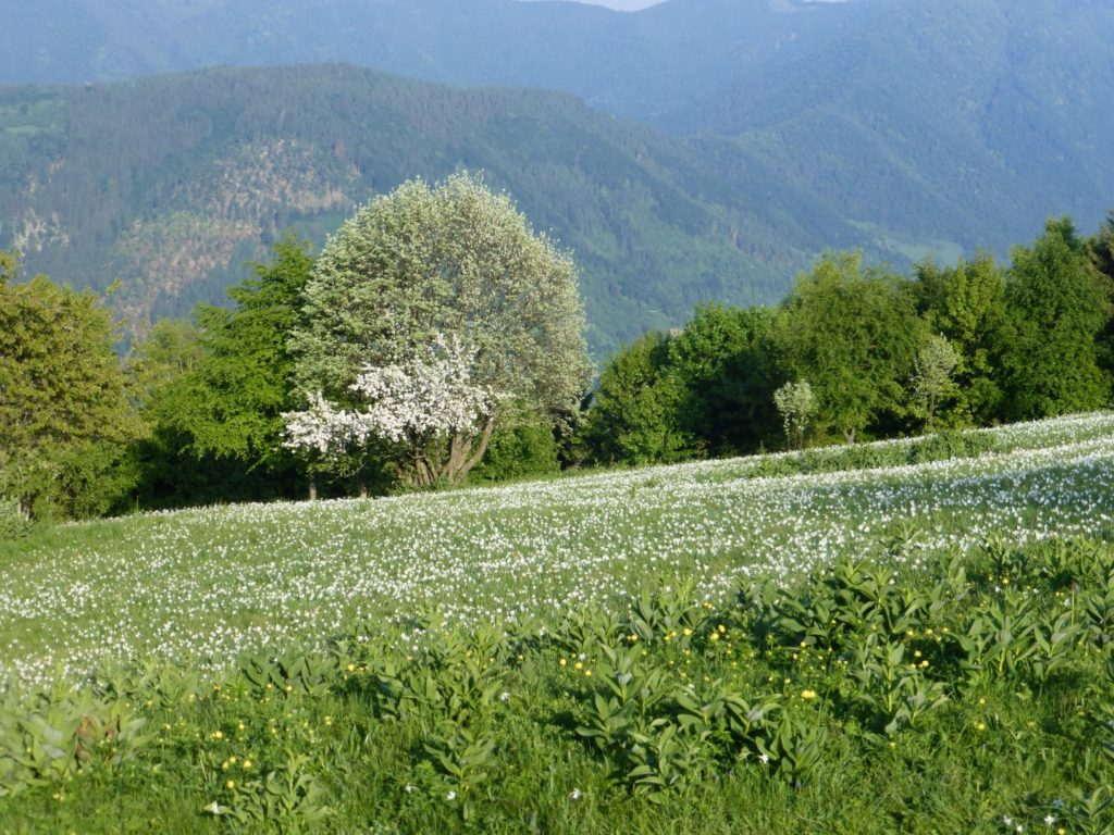 Pian di Coltura, lo spettacolo dei narcisi a maggio - Gaia Erbe