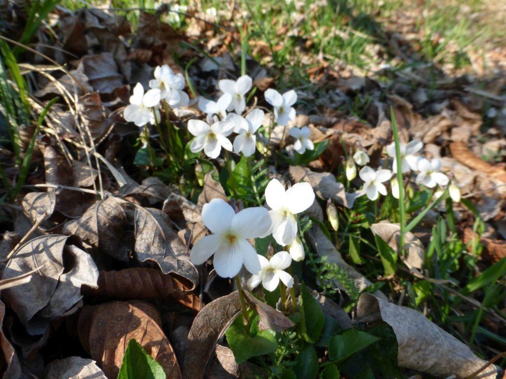 Viole bianche, a ricordar l'inverno appena passato - Gaia Erbe