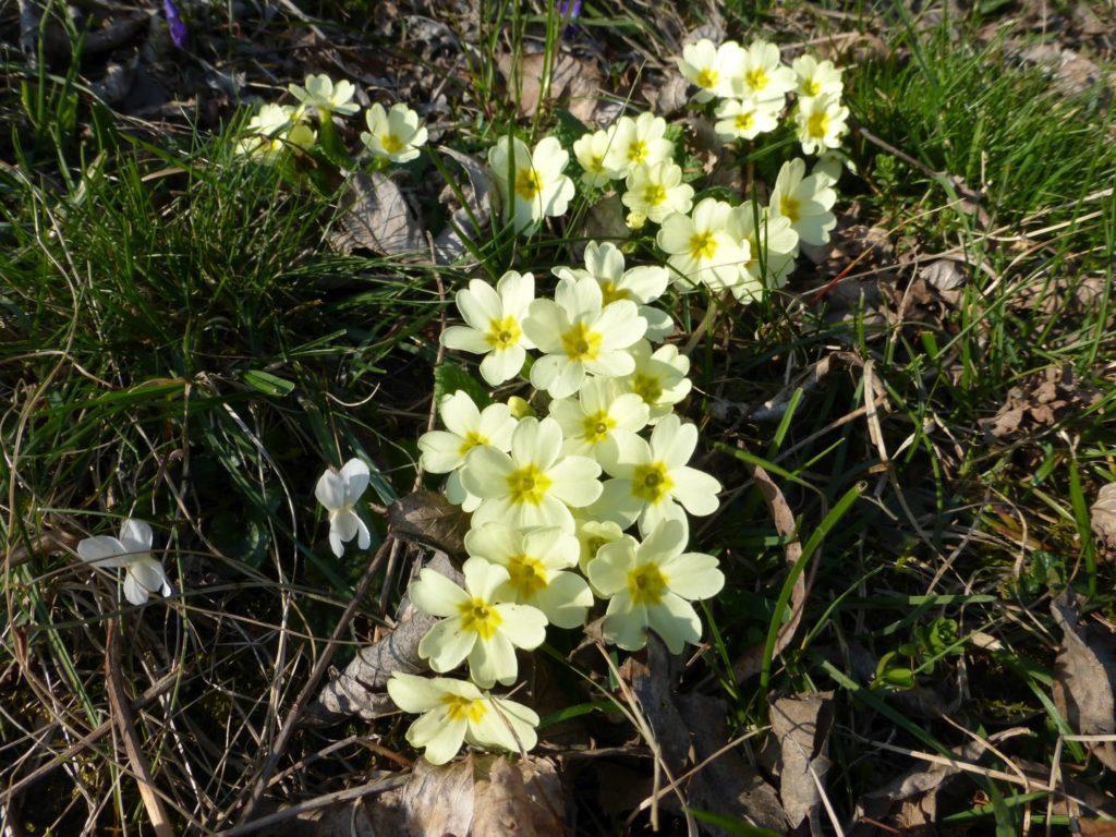 Primule, la primavera alle porte - Gaia Erbe