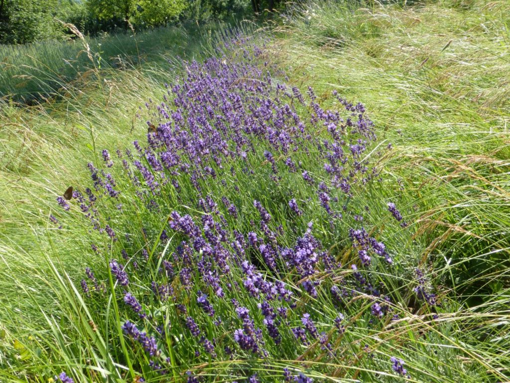 Lavanda in fiore, profumo d'estate - Gaia Erbe