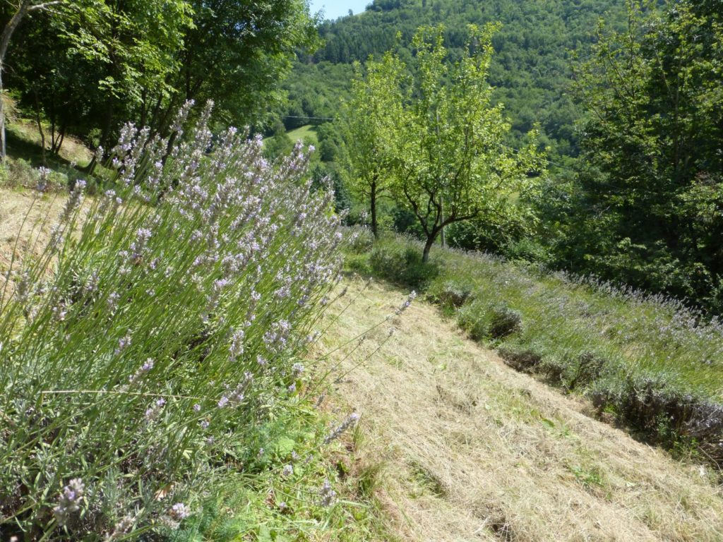 Lavande quasi pronte per il raccolto - Gaia Erbe